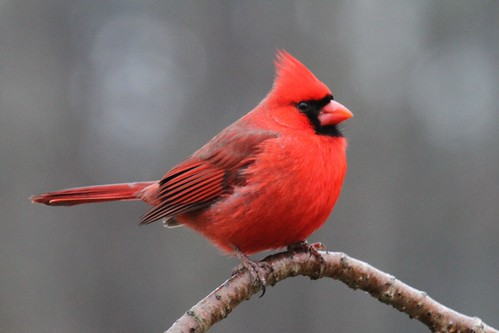 Cardinal | by DrPhotoMoto