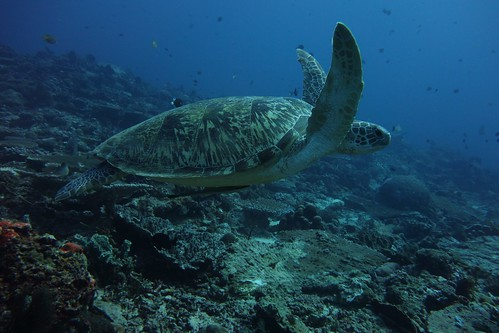 Swimming with a green turtle at 24 m | by jkwchui
