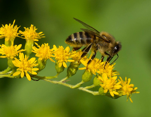 Russian Honey Bee in Goldenrod | A Russian type Honey Bee ... - photo#21