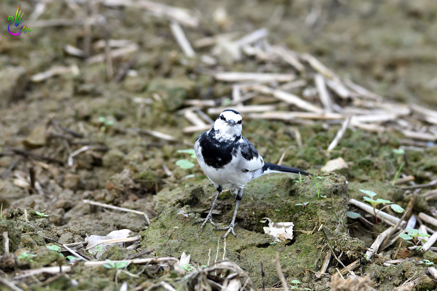 White_Wagtail_2511