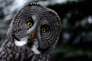 Great Grey Owl | by blurred.ca