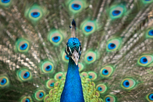 Peacock | by -Harm-