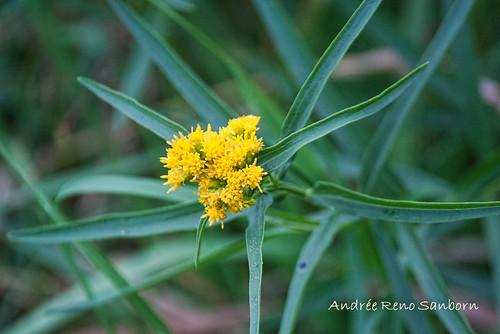 Flat-top Goldenrod (Euthamia graminifolia)