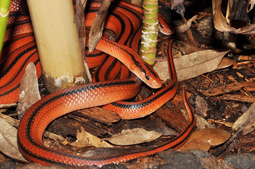 Oreocryptophis Porphyracea Coxi Thailandische Rote Bambu Flickr