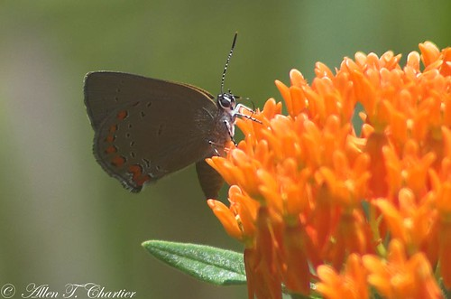 Satyrium titus (Coral Hairstreak)