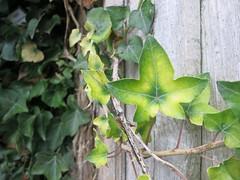 fading ivy leaf