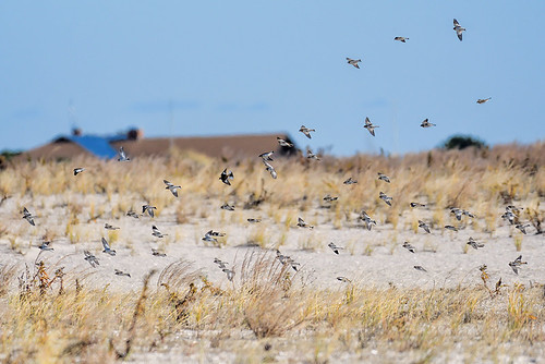 Jones Beach: Snow Buntings
