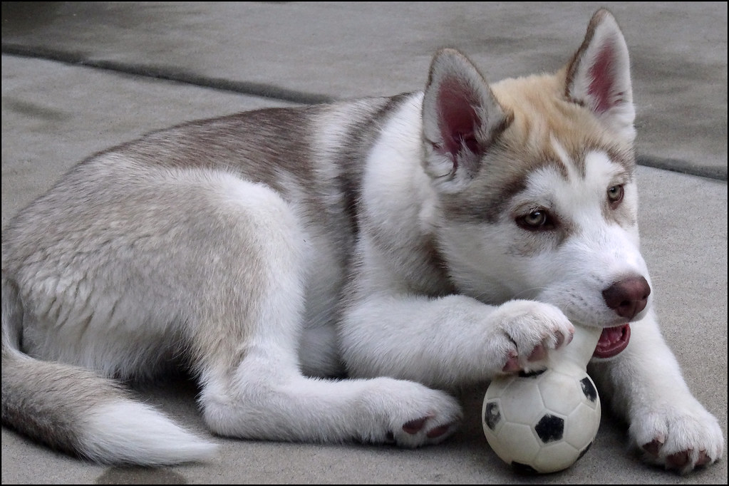 Maverick The Siberian Husky Puppy About Three Months Old Flickr