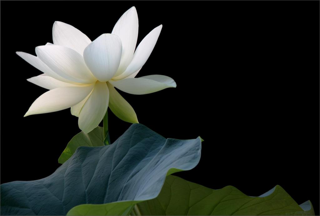 White lotus flower on black img2031 1000 white lotus fl flickr white lotus flower on black img2031 1000 by bahman farzad mightylinksfo