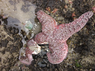 Dying sea star | by Oregon State University