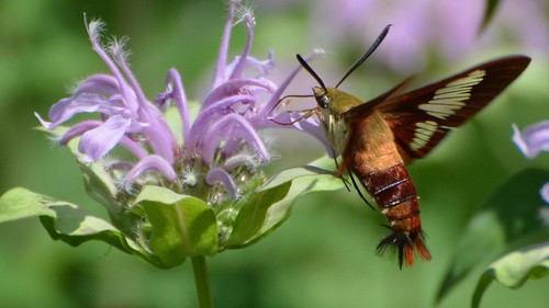 Hemaris thysbe - Hummingbird Clearwing Moth