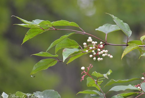 Cornus sericea (Red-osier Dogwood)