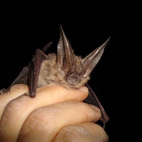 BOR works with the LCR MSCP to conserve the Townsend's big-eared #bat and its habitat. bit.ly/2eHwJaW #batweek #savethebats #batweek2016 #iLoveBats #batfest #bats
