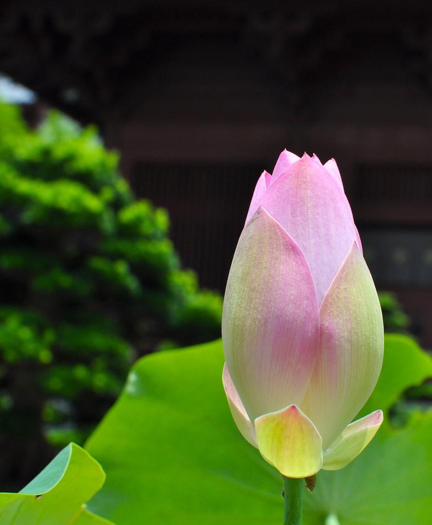 Lotus Flower Blossom Andrea Flickr
