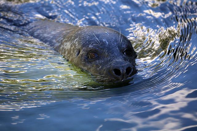 Seehund / seal