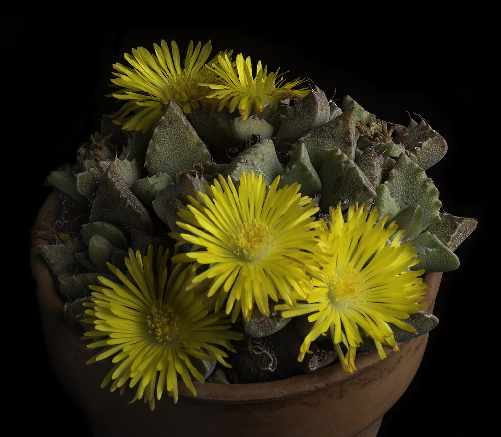 Yellow succulent flowers in a pot these bright yellow flow flickr yellow succulent flowers in a pot by bill gracey 20 million views mightylinksfo