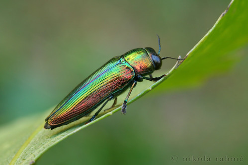 how to catch inaba jewel beetle
