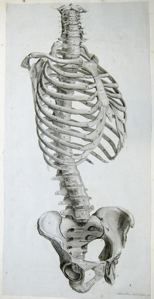 Side View Of The Bones Of The Torso Engraving Showing Side Flickr