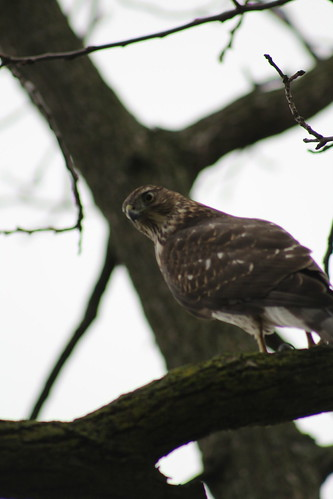 Juvenile Coopers Hawk | by DanRNeumann