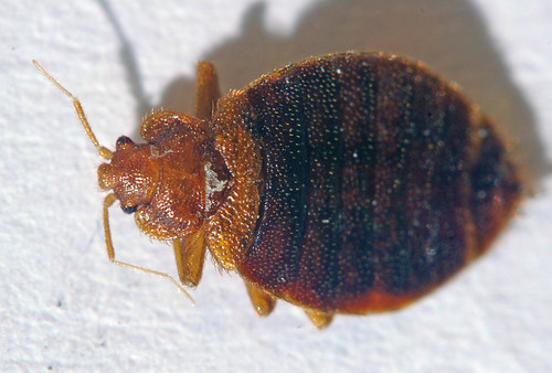 Bed Bug Live Without Food