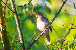 Thrush Nightingale (Luscinia luscinia) | by sussexbirder