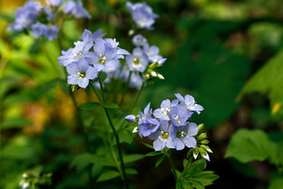 Polemonium reptans (spreading Jacob's-ladder) | by tgpotterfield