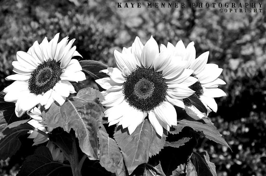 Sunflowers In Black And White Quality Prints And Greeting Flickr