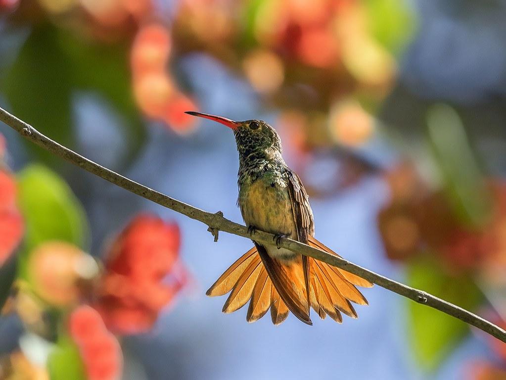 castellow hammock female buff bellied hummingbird  amazilia yucatanensis   colibri yucateco hembra  castellow hammock female buff bellied hummingbird  amazilia yucatanensis   c u2026   flickr  rh   flickr