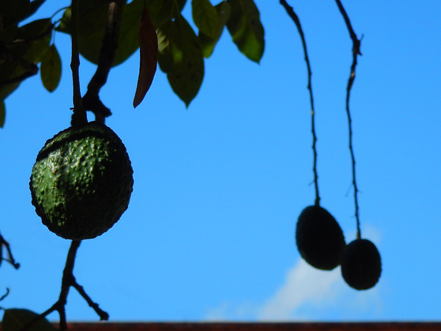 Avocados in Mascota, a 'Pueblo Magico' on the Sierra Madres Occidental on the Pacific coast of Mexico