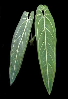 Anthurium warocqueanum_enid