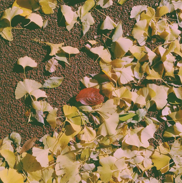 Ginkgo leaves falling
