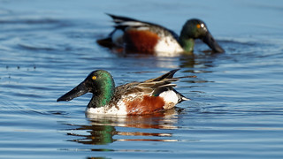 Northern_Shoveler | by this is for the birds