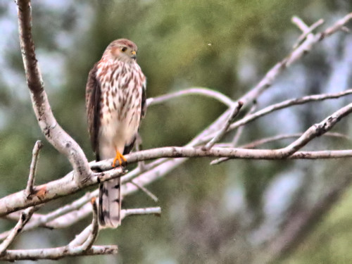 Sharp-shinned Hawk 01-20161125
