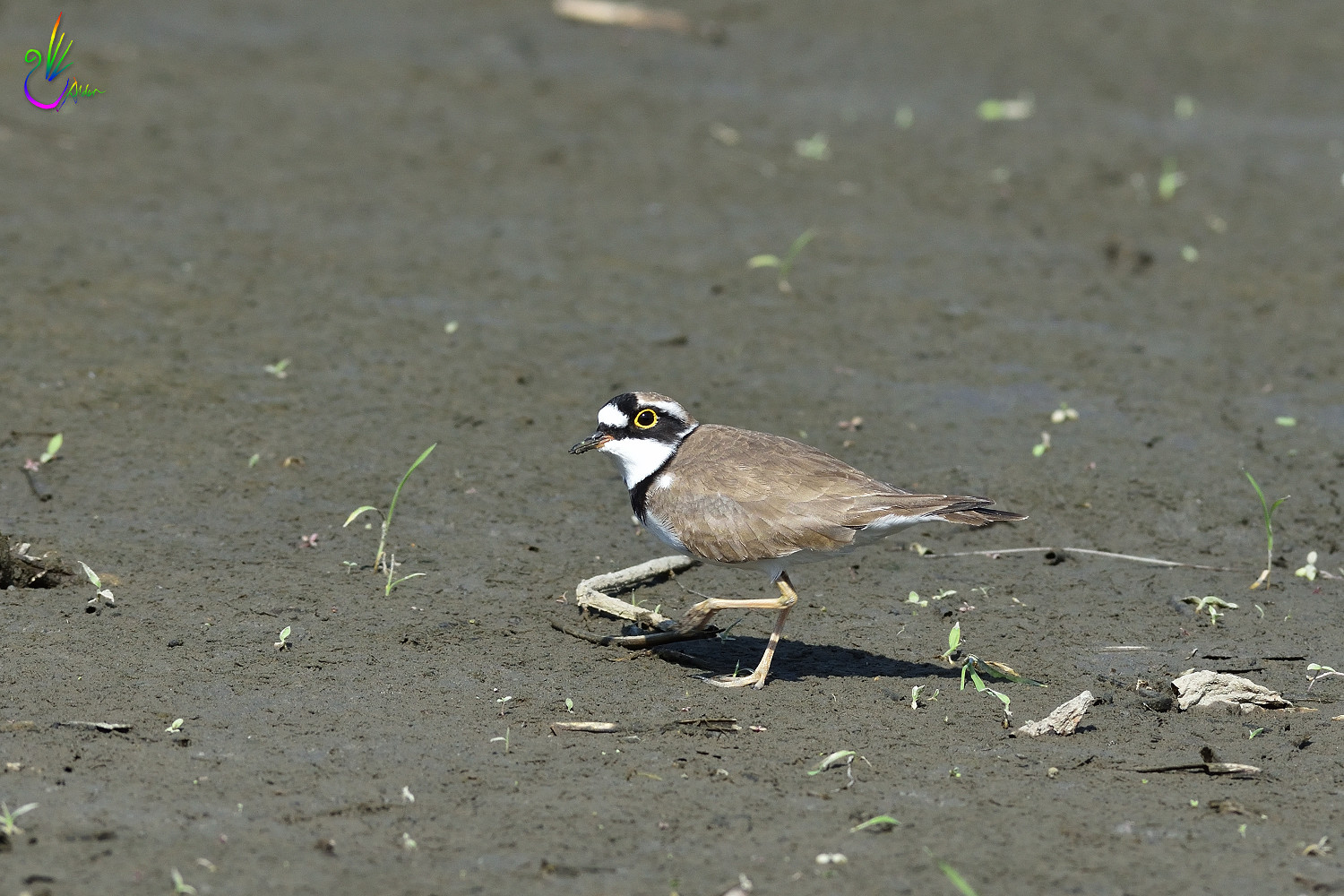 Little_Ringed_Plover_9766