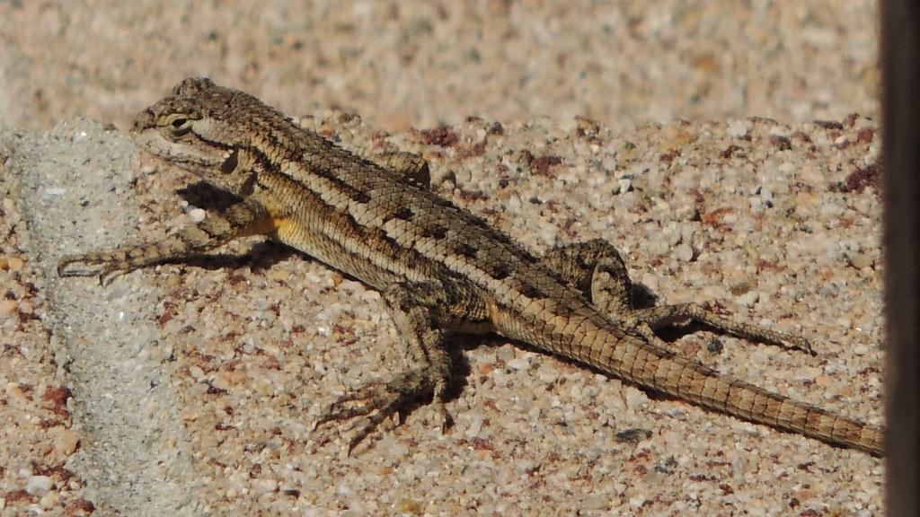 Lizard In My Backyard my backyard lizard | this western fence lizard makes a secon… | flickr