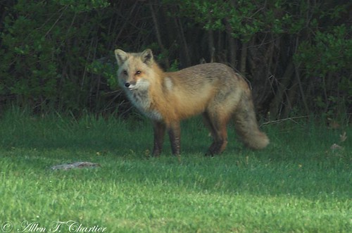 Vulpes vulpes (Red Fox)