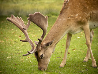 Fallow Deer | by Dell's Pics