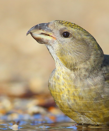 Crossbill | by Mike Mckenzie8