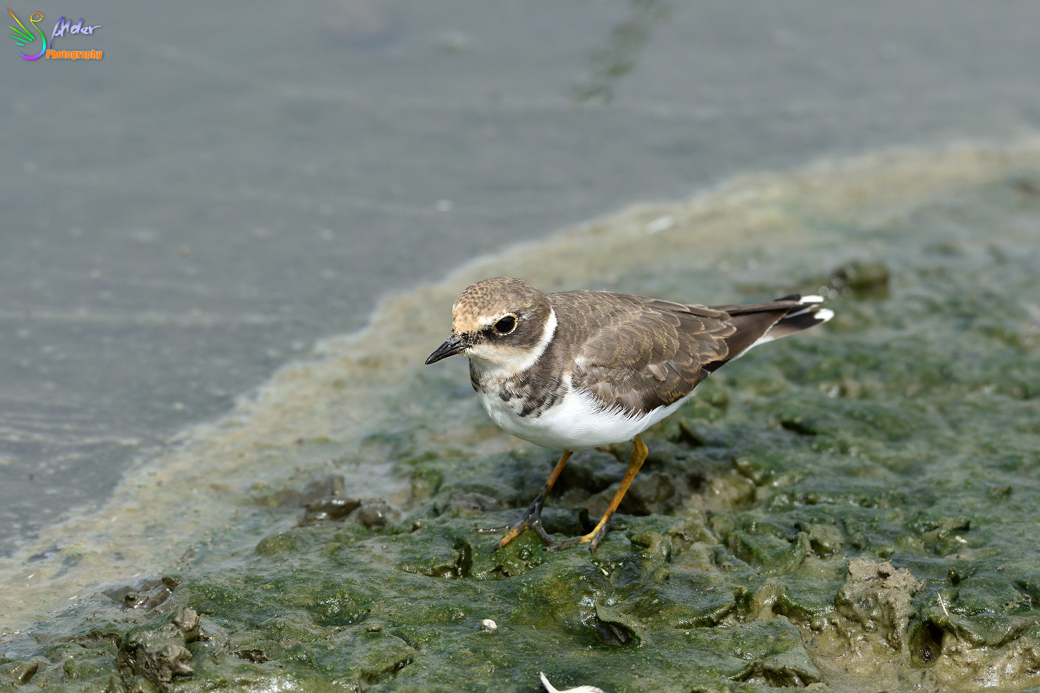 Little_Ringed_Plover_3183