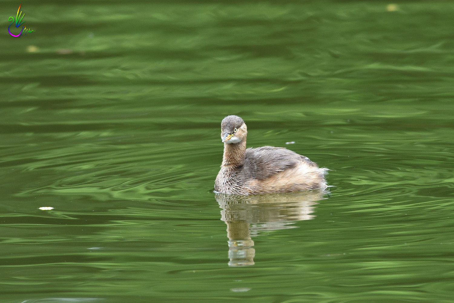 Little_Grebe_1280