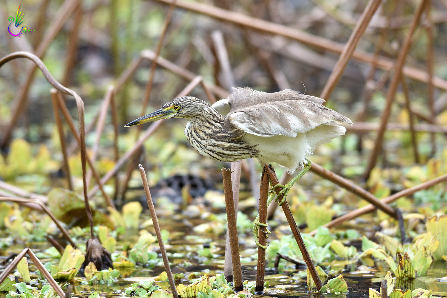 Chinese_Pond_Heron_3140