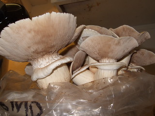 Agrocybe aegerita gills | by Wendell Smith
