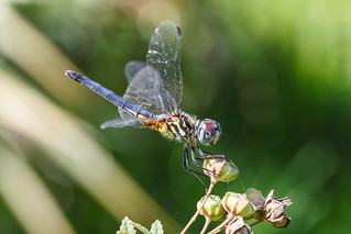 Blue Dasher Dragonfly (Explore 11/26/13) | by Bob Decker