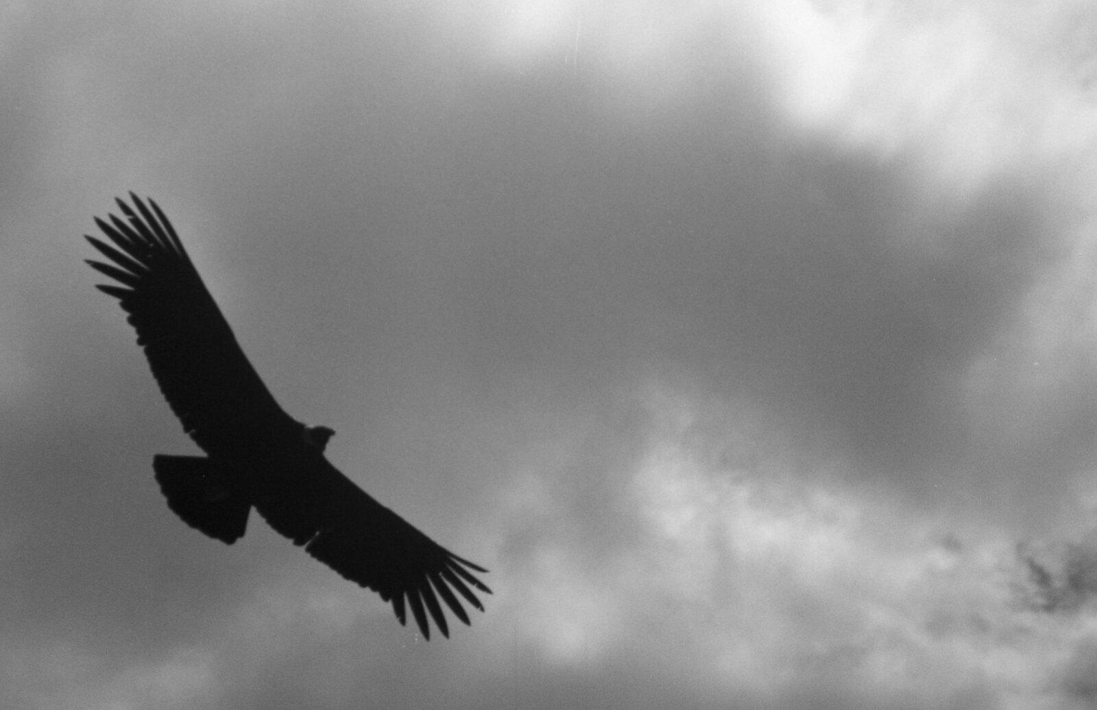 Condor | by evelalo