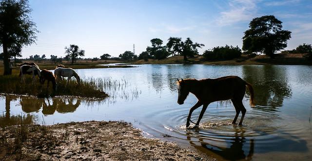 Horses and a pond on the way from Jaisalmer to Khuri, India ジャイサルメールからの砂漠ツアー途中で寄った池