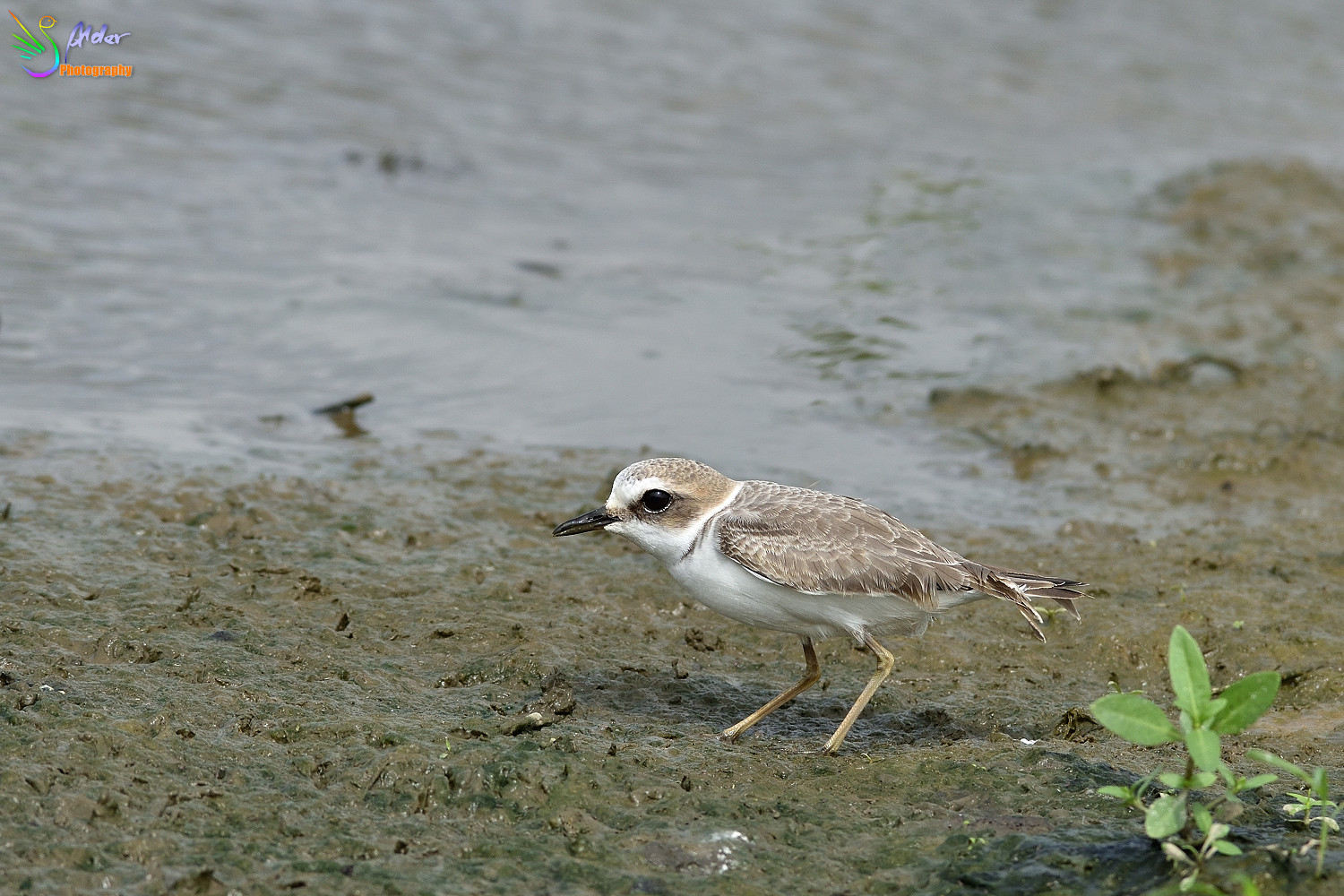 Kentish_Plover_3179