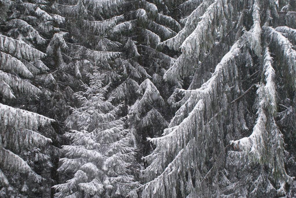 Branches de sapins lourdement chargées de neige dans les Carpates.