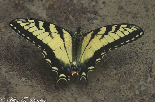 Papilio glaucus (Eastern Tiger Swallowtail)