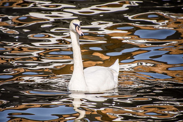 swan & reflections