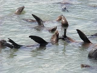 043 Zeeleeuwen bij Pier 39